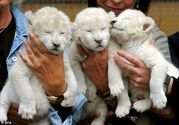 Home Raised Babbies lion Cub for sale