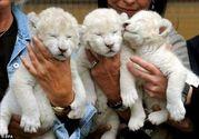 Home Raised Babbies lion Cub for sale