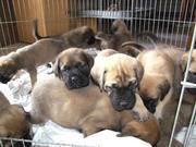4 Gorgeous Mastiff Puppies For  Adoption