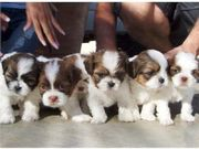 SUE SHIH TZU puppies For Adoption
