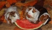3 Super Cute Male Guinea Pigs Need Rehoming ASAP.Supplies Are Included